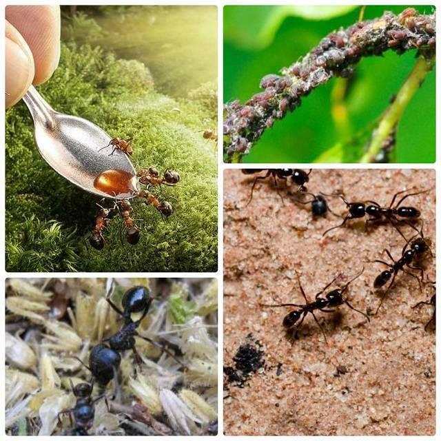 Уксус от муравьев в огороде - как вывести или уничтожить