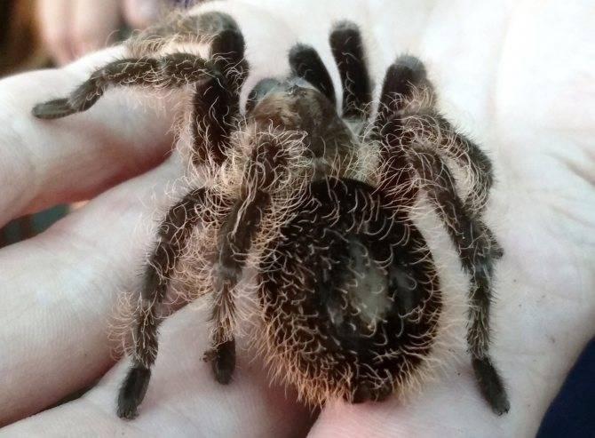 Паук-птицеед: фото, виды, описание, чем кормить, домашний паук