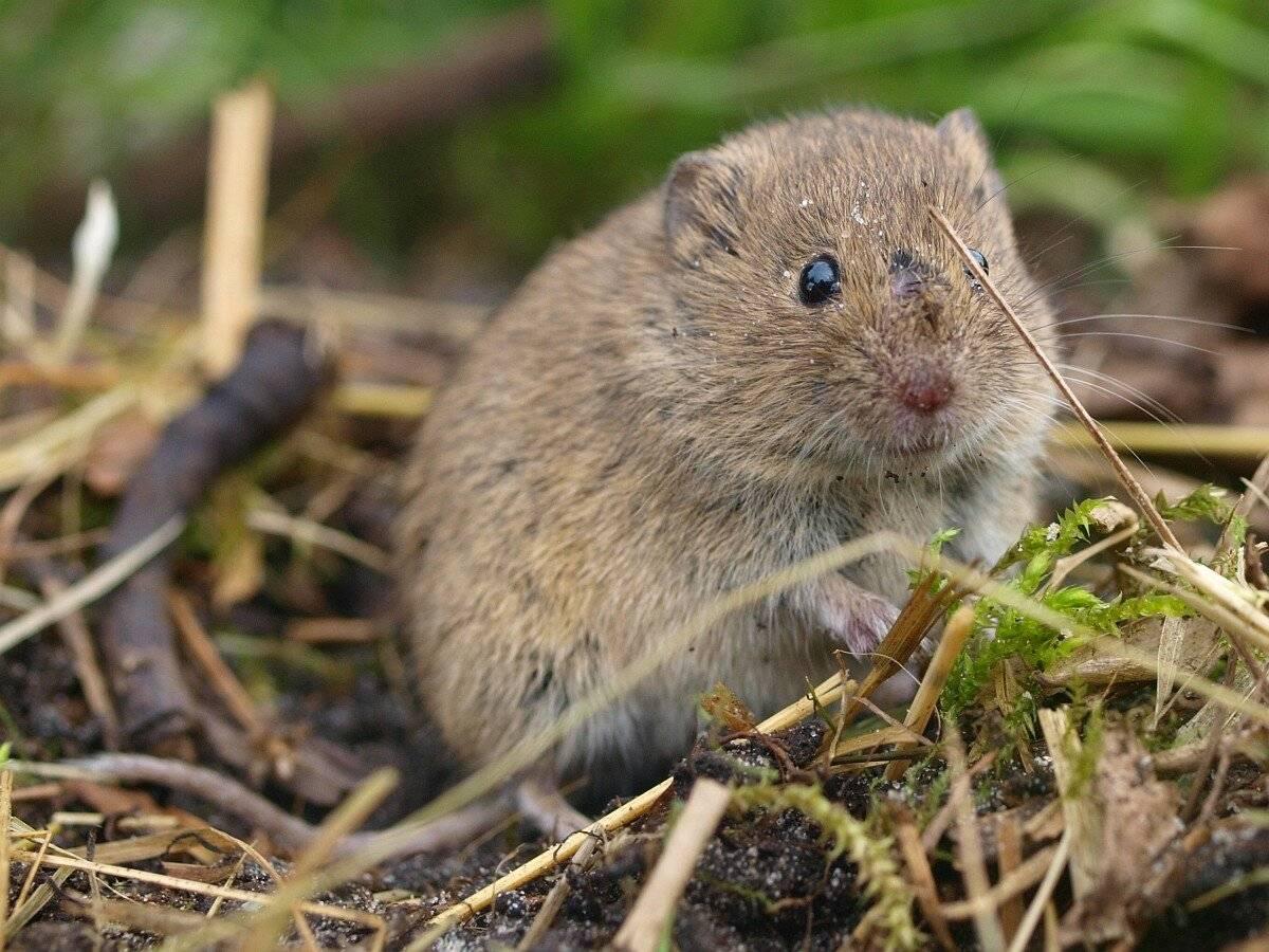 Мыши полевые (полевки) - как быстро и эффективно избавиться?