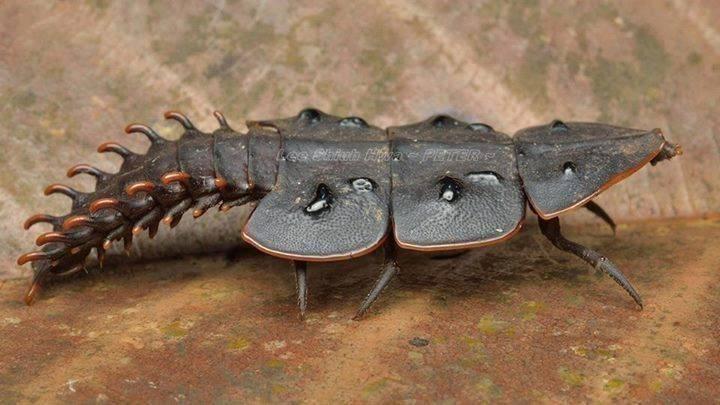 Жук-трилобит: внешний вид древнейшего насекомого