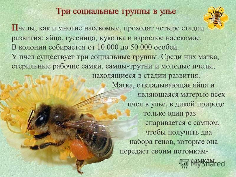 Дикие пчелы: виды, основные отличия, места обитания и советы по избавлению (фото + видео)