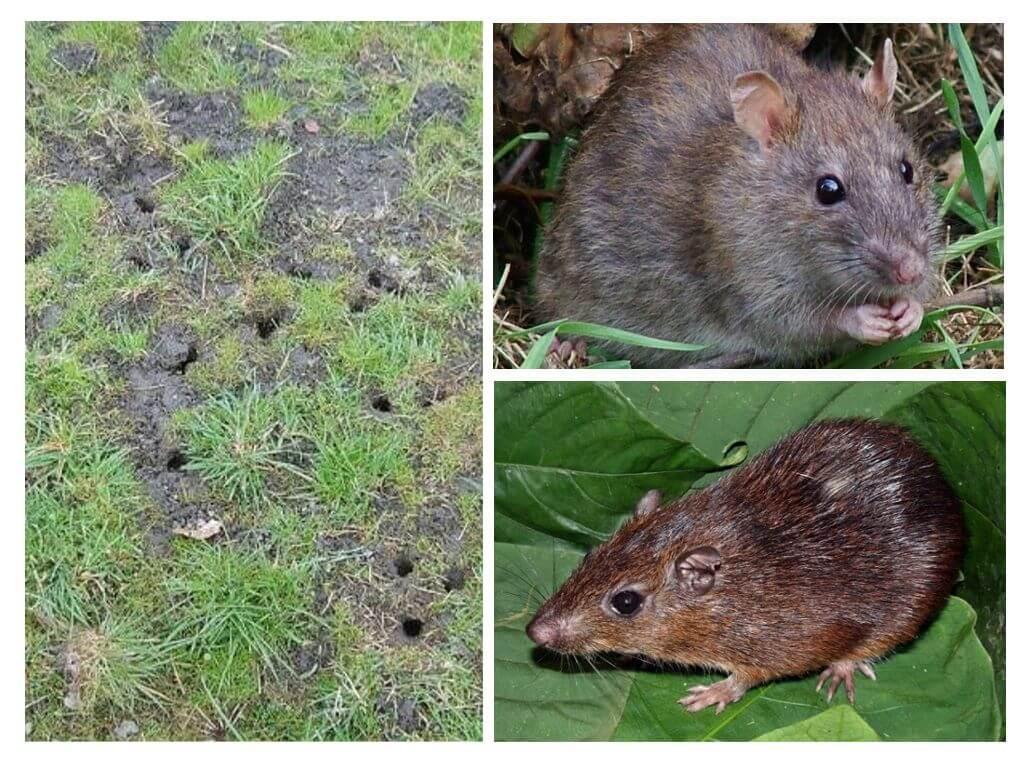 Избавляемся от земляных крыс, методы борьбы и защита дачных участков и огородов - райский сад