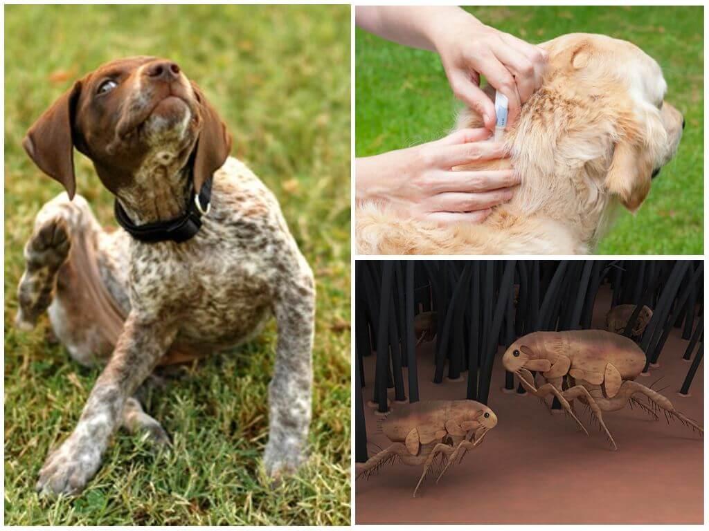 Как защитить собаку от клещей - обзор популярных средств