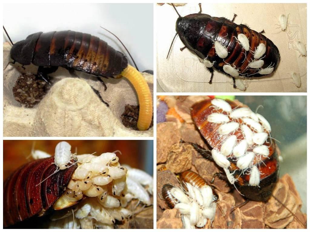 Виды тараканов: какие бывают в квартире