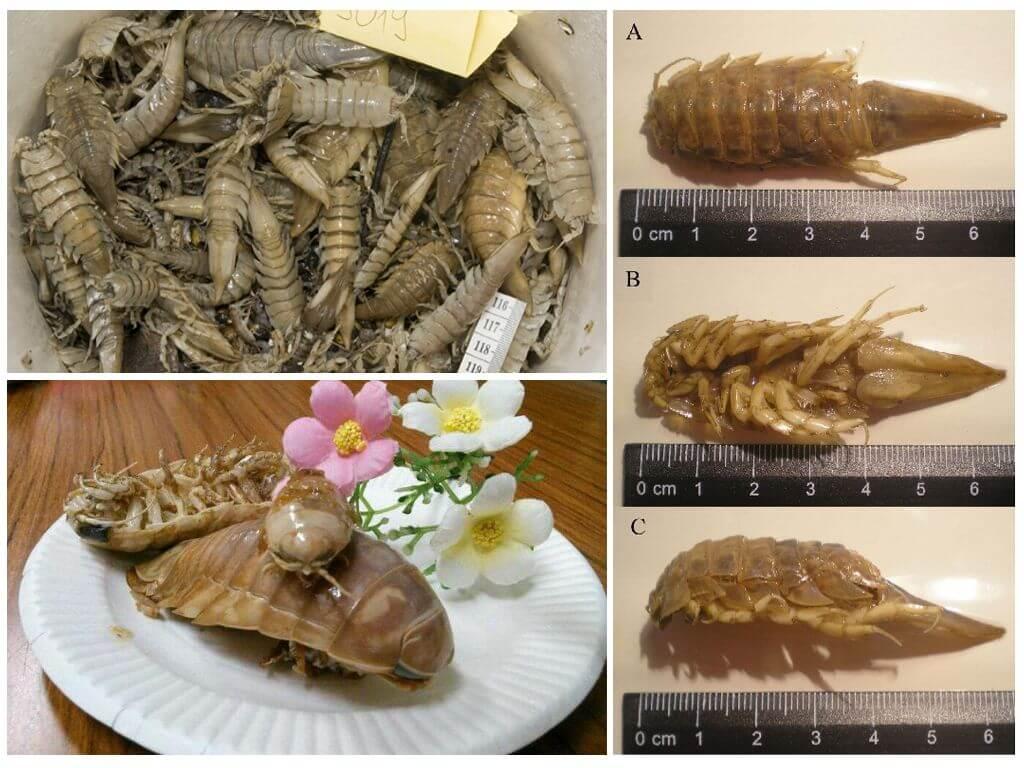 Мраморный таракан