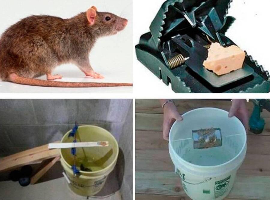 Как поймать крысу в домашних условиях без крысоловки, чем выманить?