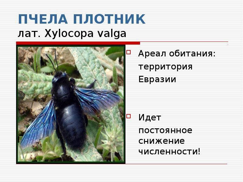 Воскресные истории: красавица-чудовище. пчела-плотник