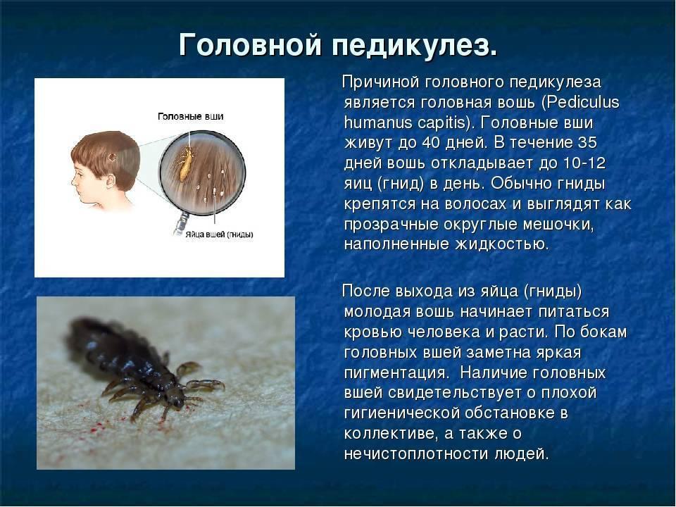 Платяная вошь: описание, способы обнаружения и методы борьбы с паразитом