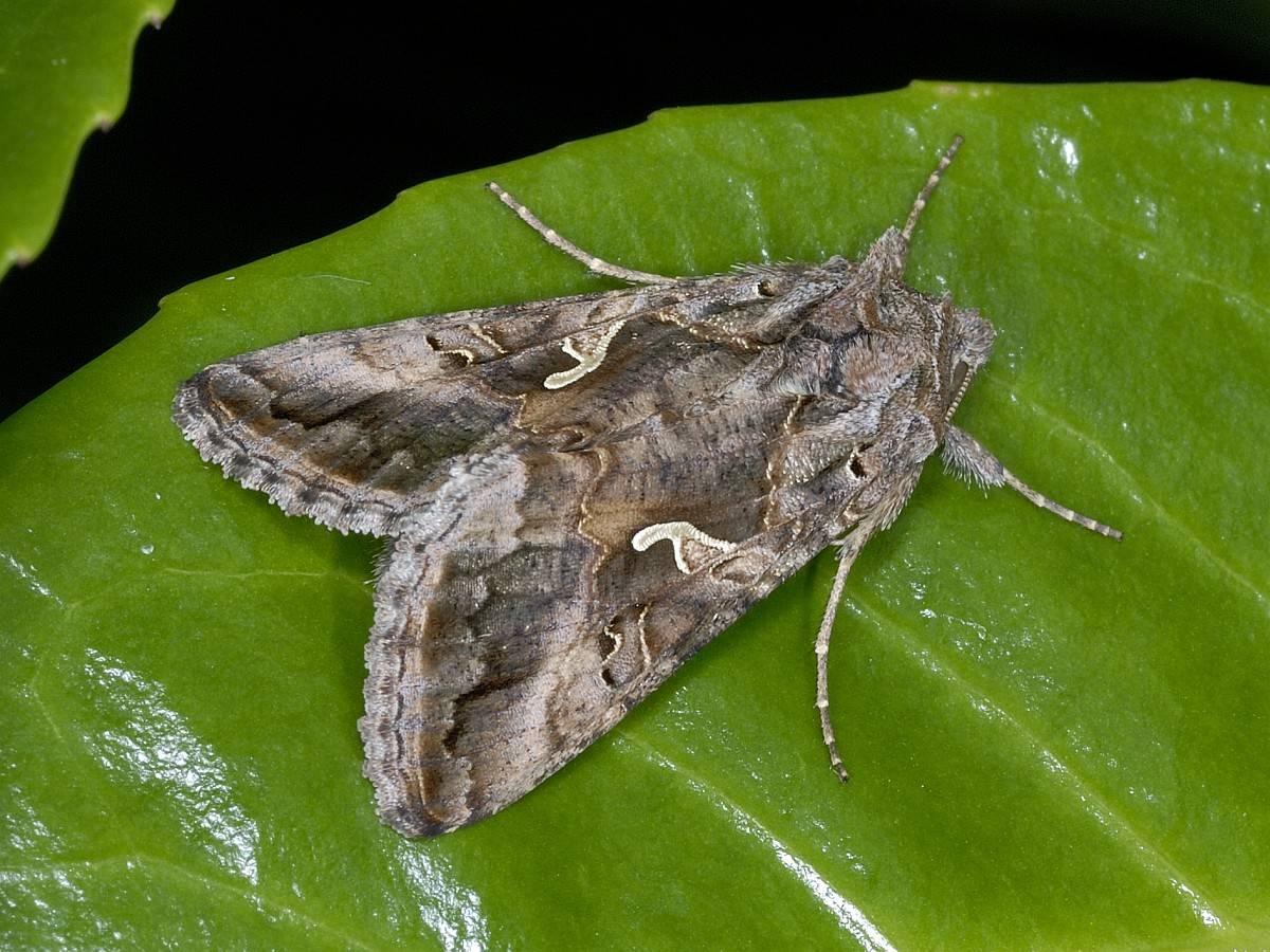 Бабочки совки: фото огородных вредителей, как бороться с совкой препаратами и другие меры борьбы