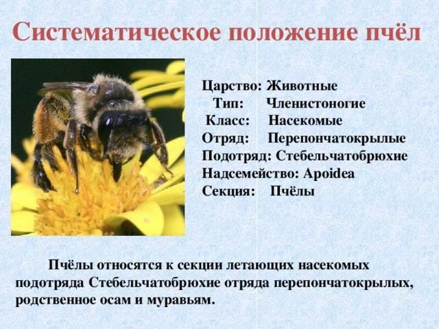 Медоносная пчела: развитие, описания и классификация