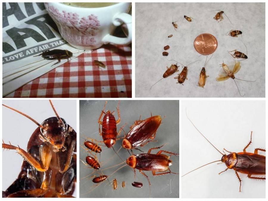 Как избавиться от рыжих тараканов в квартире