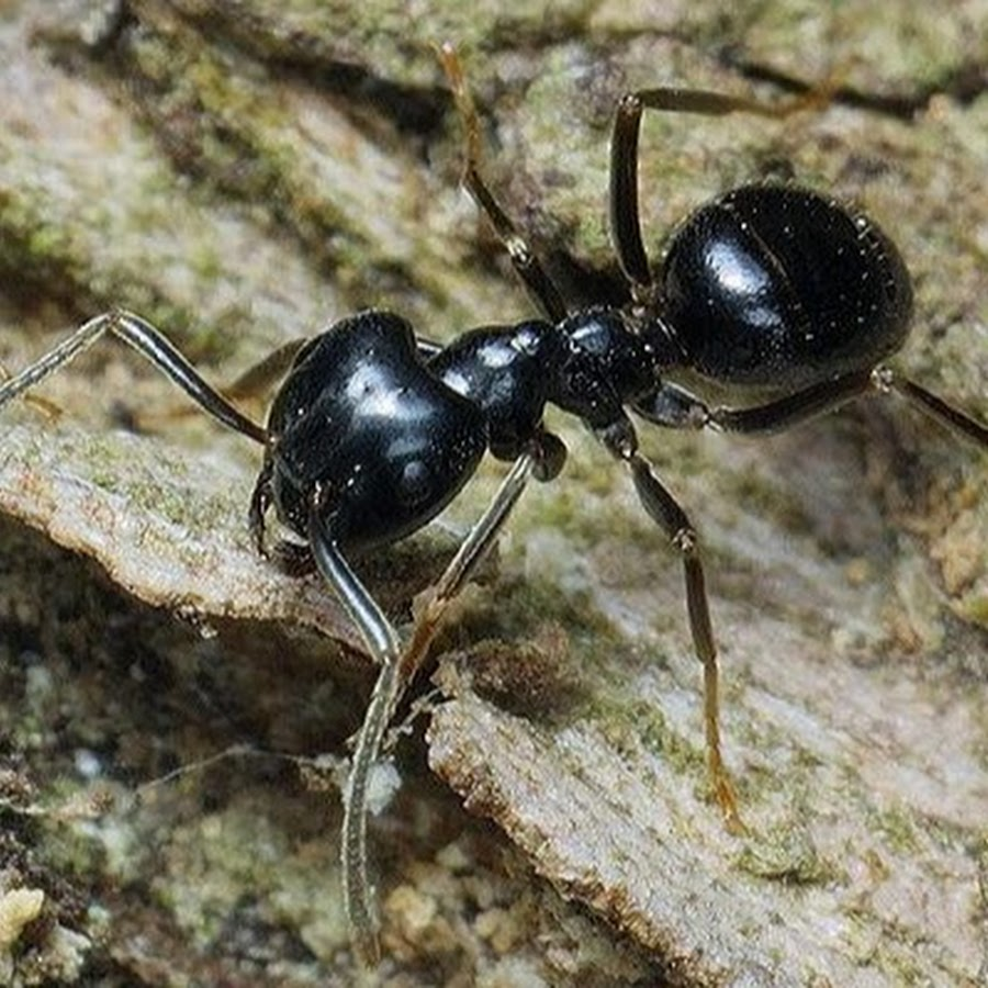 Черные большие муравьи на даче и в доме - как избавиться народными средствами