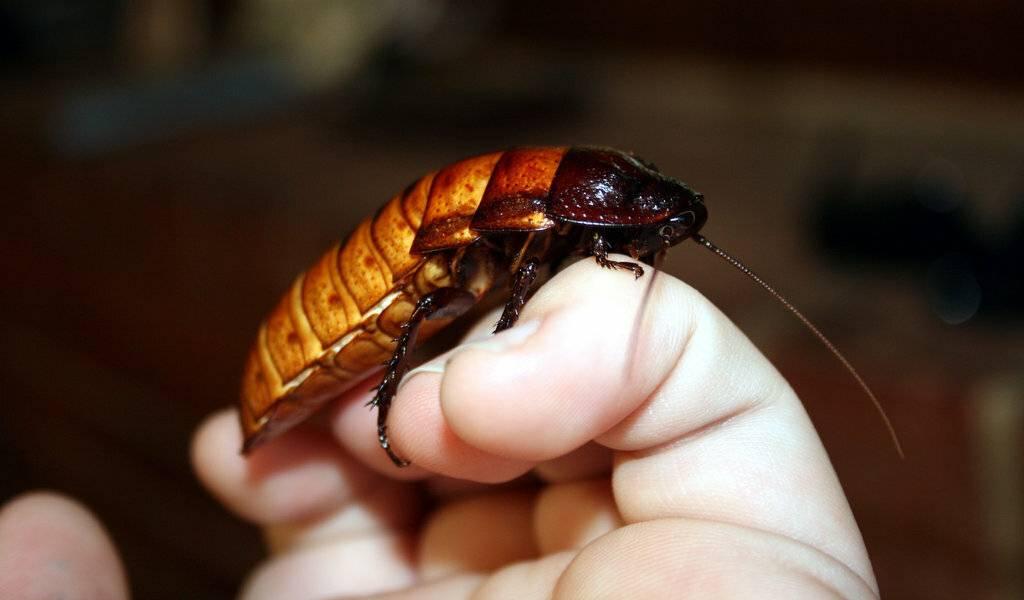 Бывают ли белые тараканы и что делать после их обнаружения