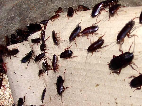 Естественные враги тараканов в природных и домашних условиях: обзор