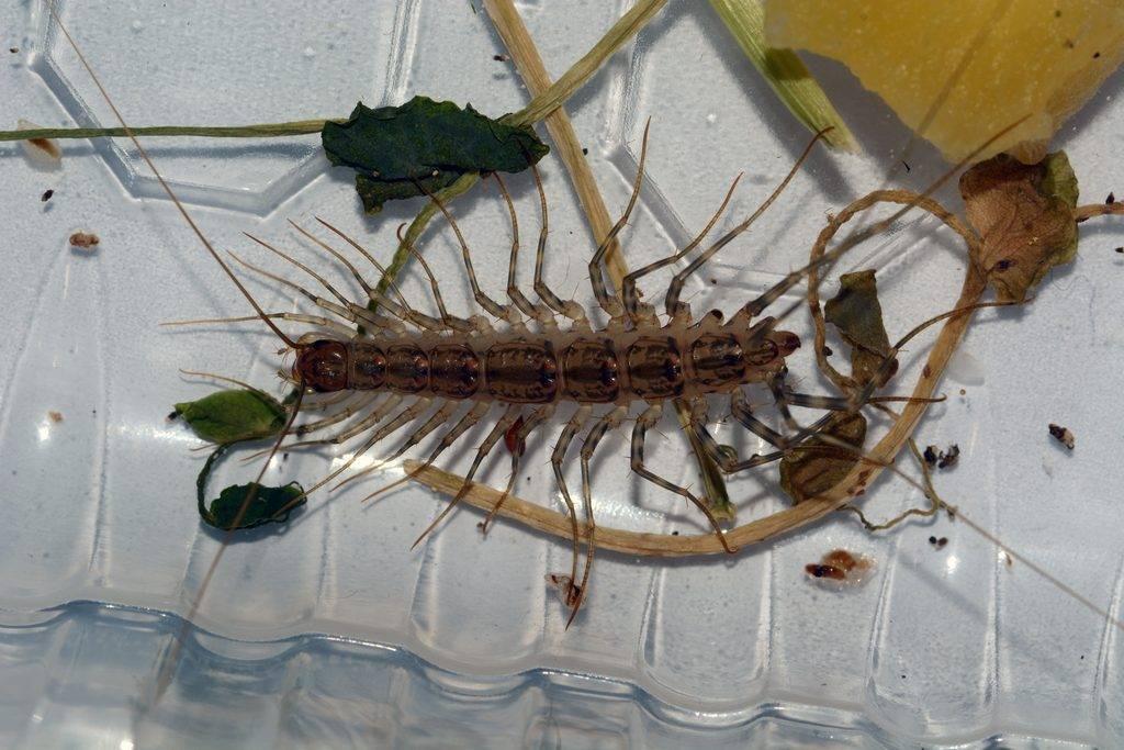 Чем опасна для людей мухоловка и как избавиться от насекомого