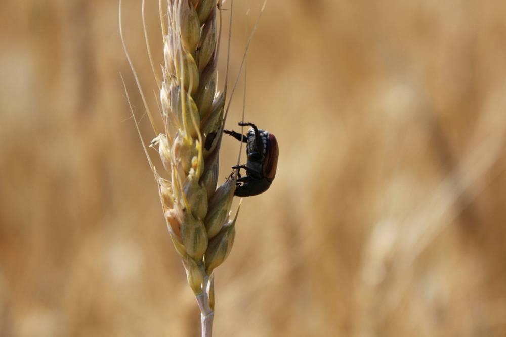 Хлебный жук кузька – фото, описание и борьба