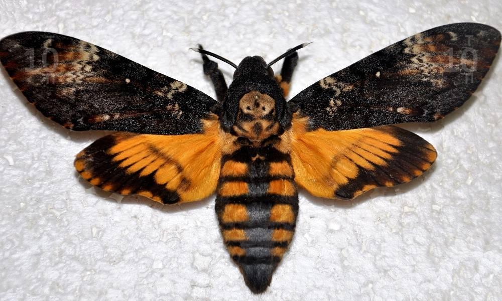 Бабочка мёртвая голова: фото и описание, где обитает, легенды и приметы о необычной бабочке