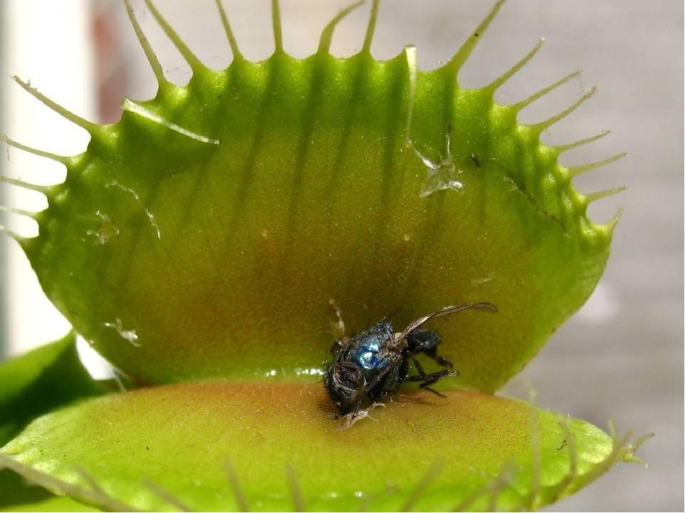 Цветок для любителей экзотики - венерина мухоловка: описание, фото, а также секреты ухода в домашних условиях
