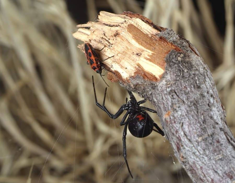 Каракурт: фото паука