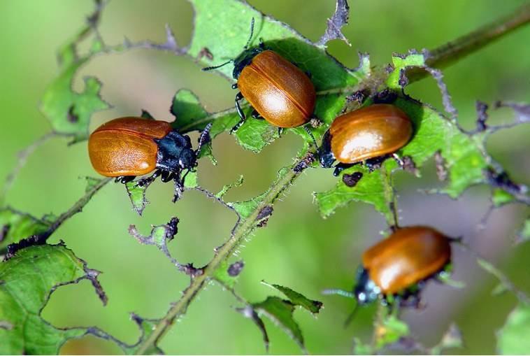 Все виды жуков листоедов (фото с названиями): тополевые, калиновые, ольховые, осиновые, рапсовые и зелёные