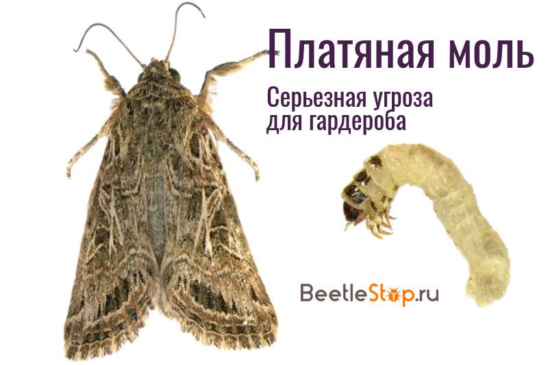 Моль: виды и какие из них могут появиться в квартире, причины появления, фото, чем питается насекомое