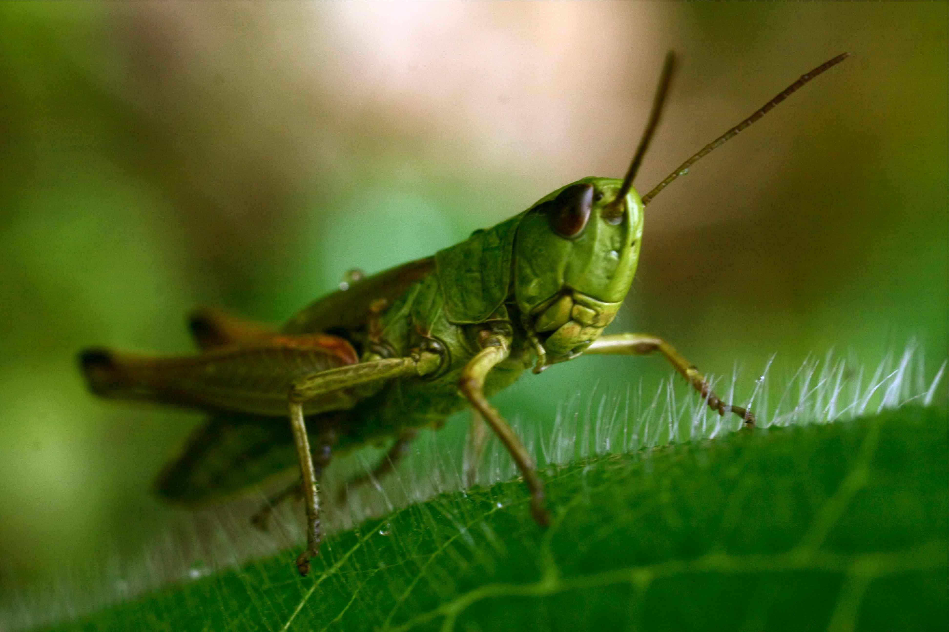 Полевой сверчок: фото и описание насекомого