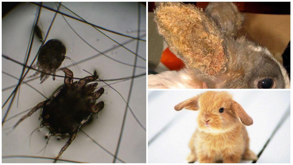Блохи у кроликов - симптомы и лечение. как выводить блох у кроликов? - petstime.ru