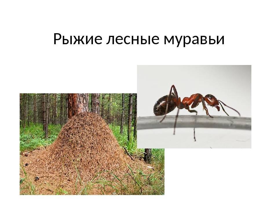Муравей лесной рыжий
