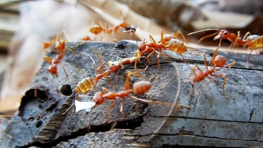 Огненные муравьи - одни из самых опасных насекомых
