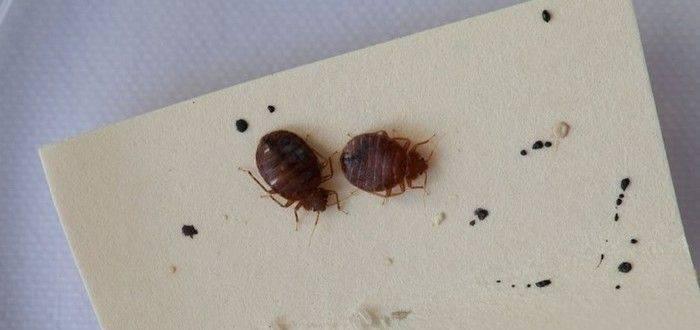 Откуда берутся клопы в квартире или доме, причины появления и как попадают в жилище / как избавится от насекомых в квартире