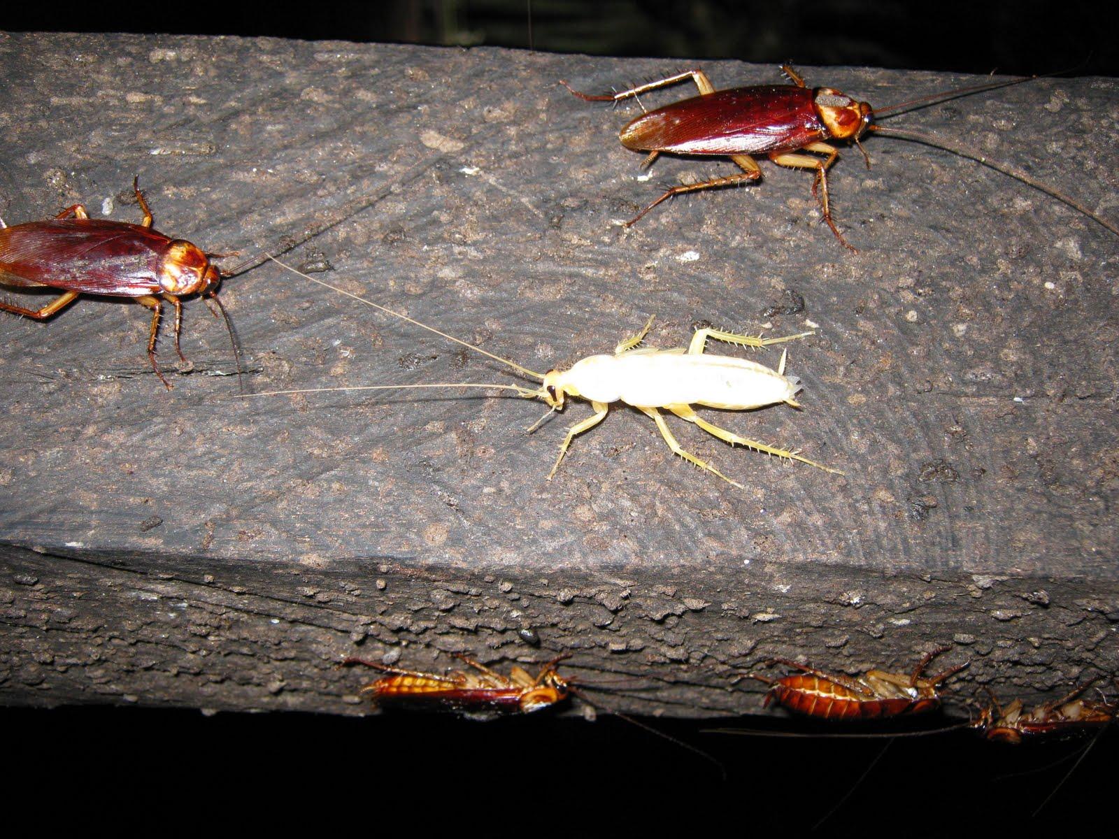 Тайны и домыслы о белых тараканах-альбиносах: откуда взялись, что это вообще такое, опасны ли для человека