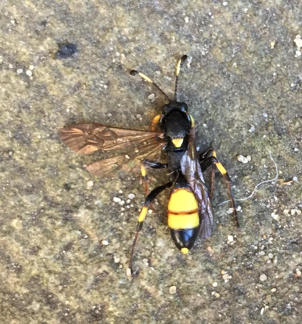 Земляные осы – что делать, если полосатые хищницы поселились в огороде