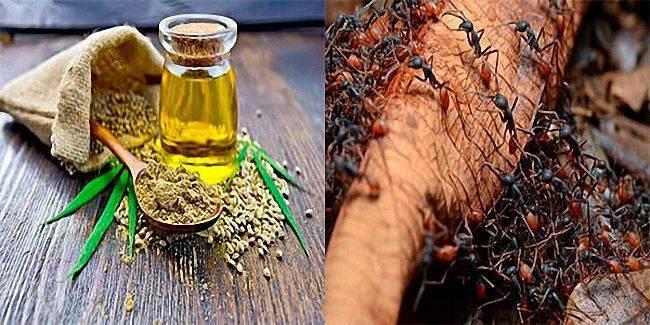 Как избавиться от муравьев в саду: народные методы, действенные средства