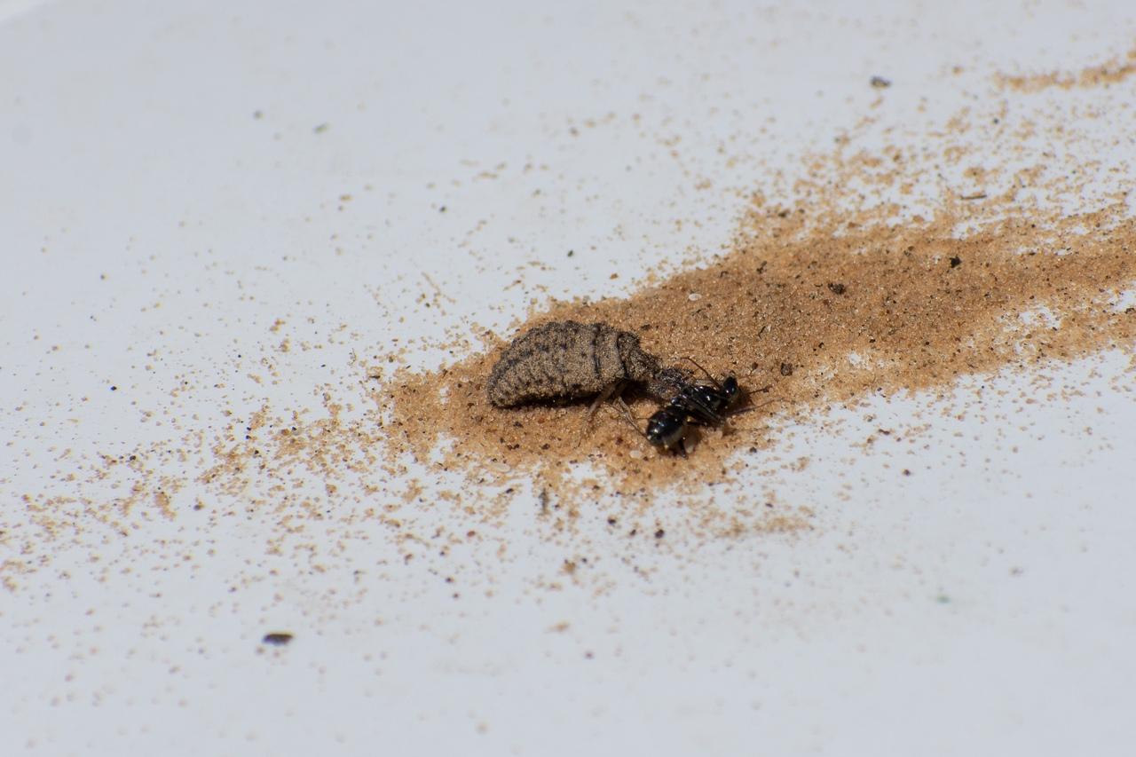 Муравьиный лев обыкновенный – хищник песчаных берегов