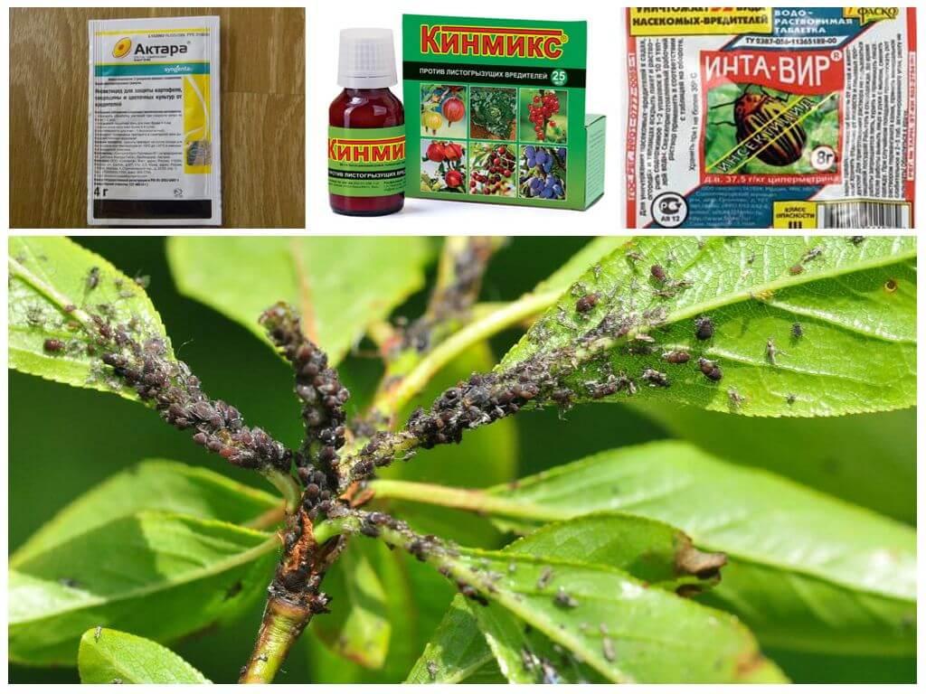 Борьба с тлей в саду народными средствами, препаратами