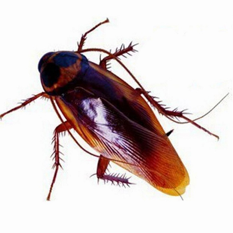 Разновидности летающих тараканов