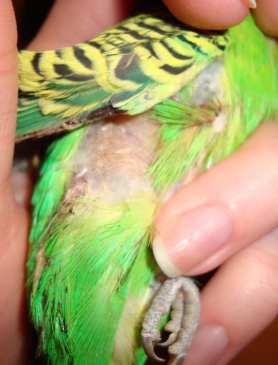 Клещ волнистого попугая: причины, симптомы, фото