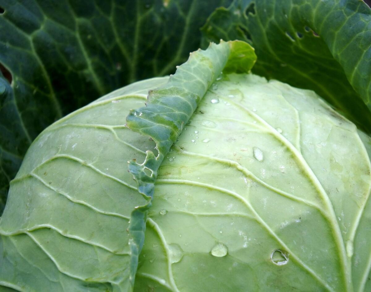 Как спасти капусту от гусениц