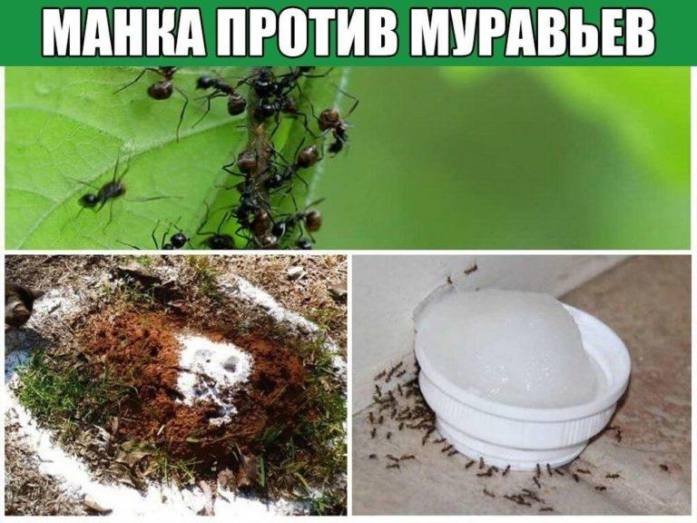 Как избавиться от муравьев на дачном участке с помощью пшена