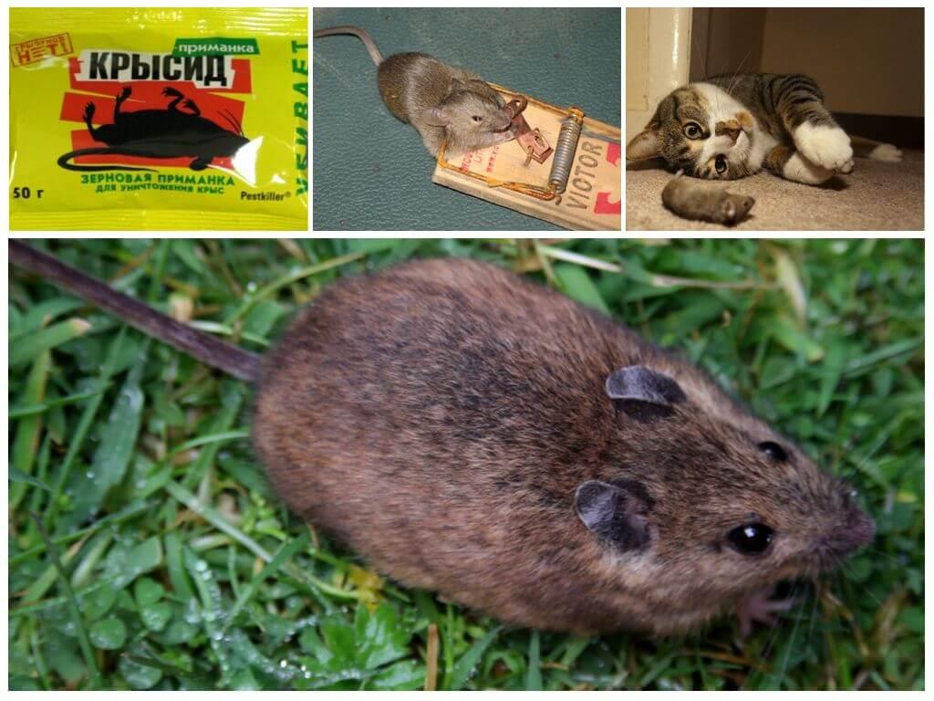 Чего боятся мыши и как избавиться от них в домашних условиях