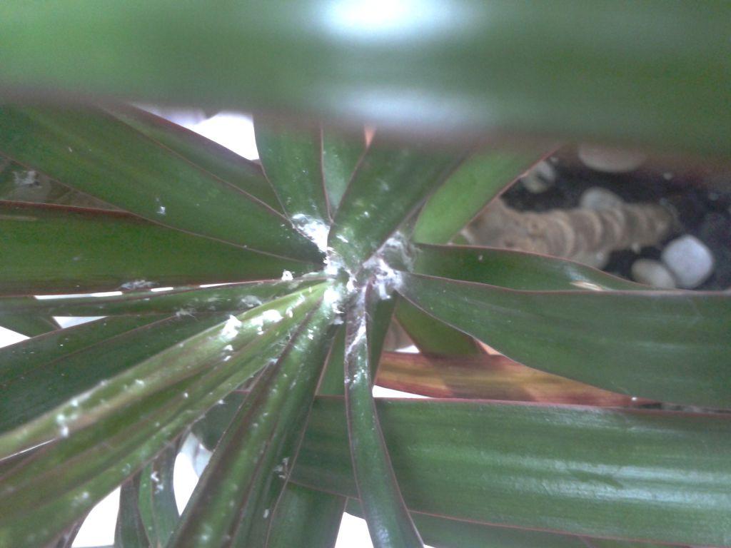 Лечение драцены от болезней и вредителей (12 фото): что делать, если сохнут кончики листьев? как спасти пальму, если она погибает? причины появления коричневых и других пятен
