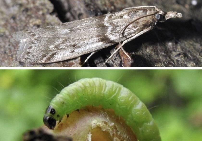 Гусеницы на крыжовнике: чем обработать? топ лучших средств