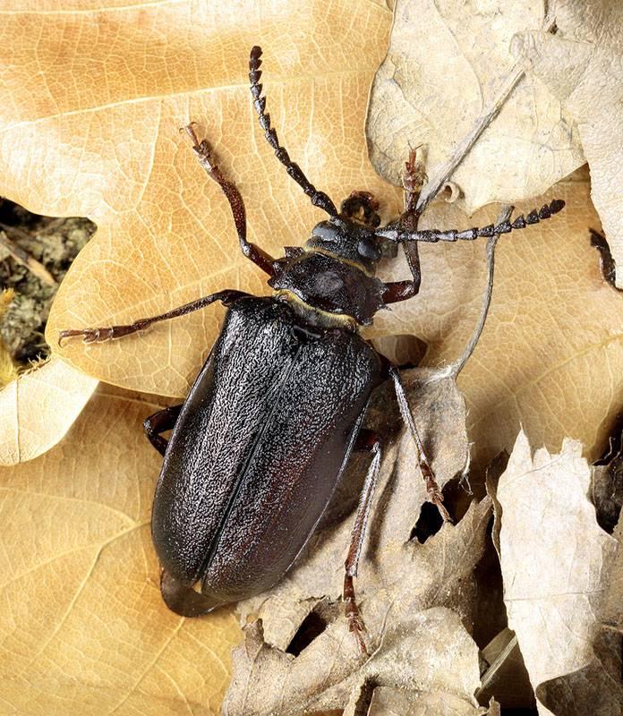 Особенности усача-плотника: внешний вид и жизненный цикл насекомого
