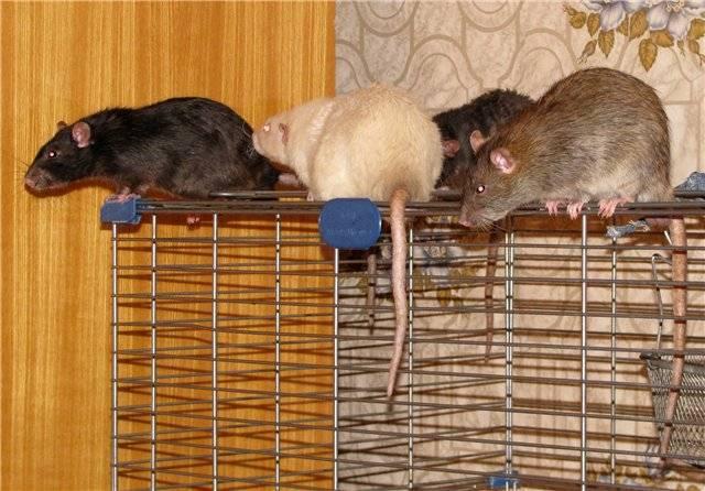 Декоративные крысы уход и содержание