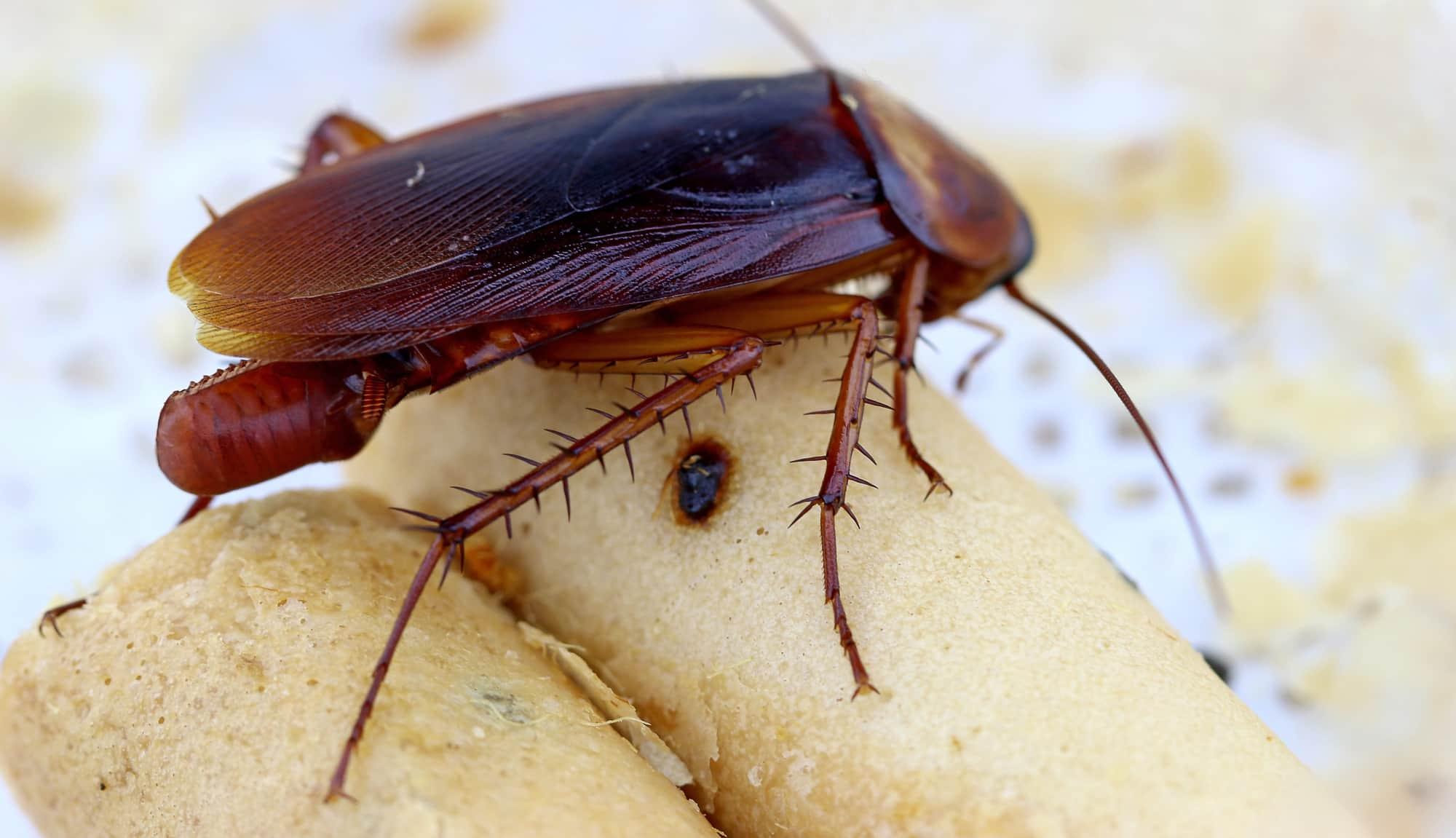 Виды тараканов с фото и описанием