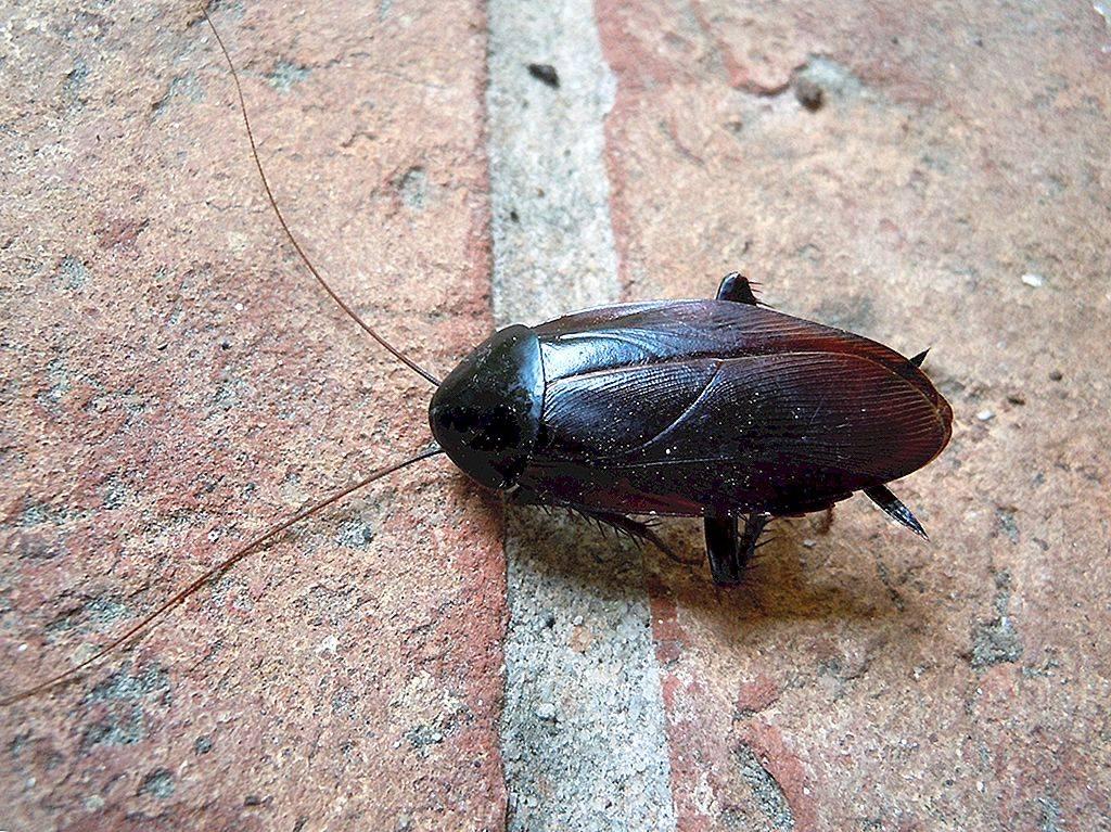 Самые большие тараканы в мире: топ-10 гигантов с фотографиями