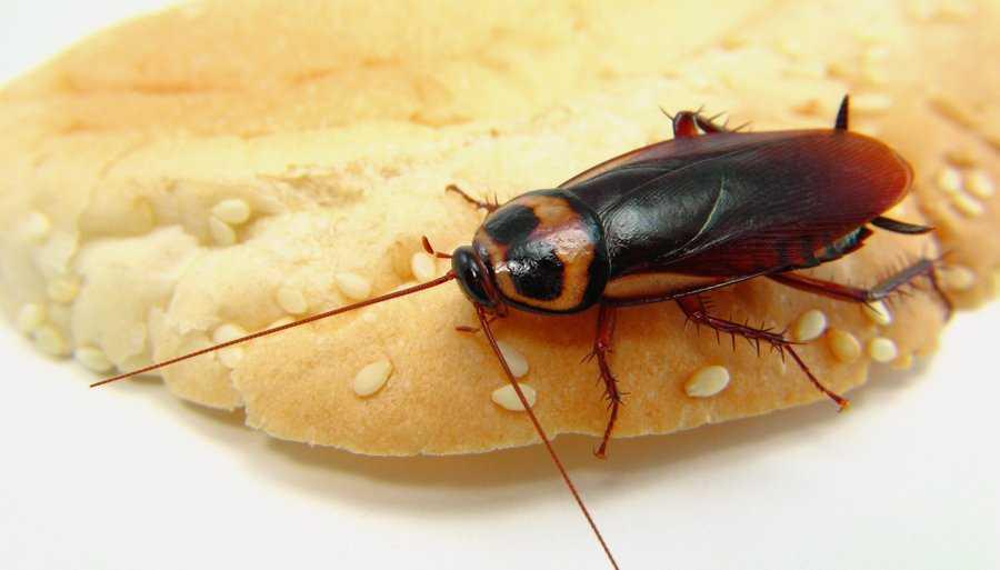 Сколько живут тараканы