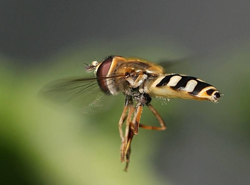 Полосатая муха, похожая на осу. описание и фото полосатой мухи похожей на осу желтая муха похожая на пчелу
