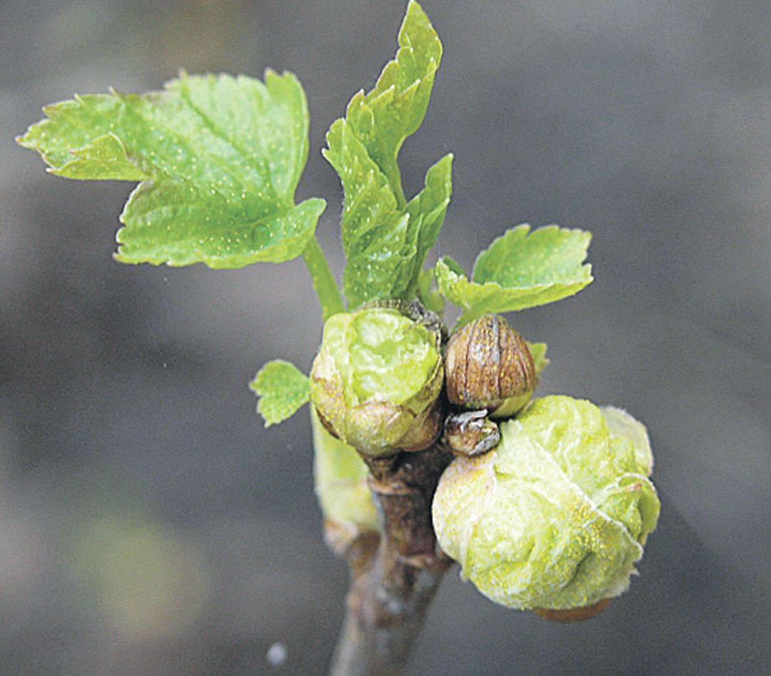 Почковый клещ на смородине осенью и весной, меры борьбы