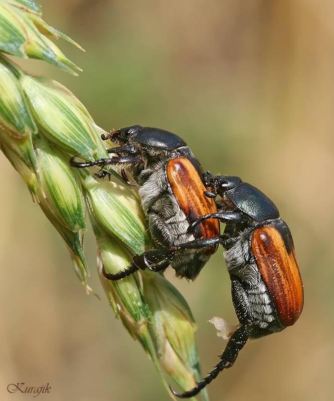 Как выглядит герой кроссвордов – хлебный жук кузька